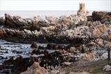 African Penguin colony...