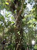Vines entwined around tree in Rainforest
